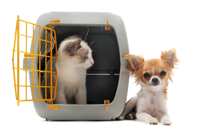 Gato cerrado dentro de portador de mascotas y chihuahua aislado sobre fondo blanco.
